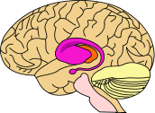 172px-BrainCaudatePutamen.svg.png