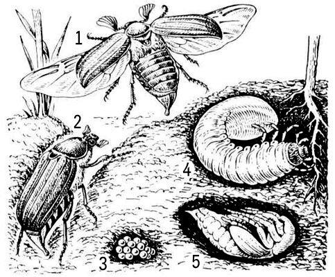 усиков раздвигаются — жук