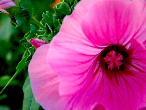 Розовое чудо*