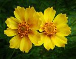 Два желтых цветка.