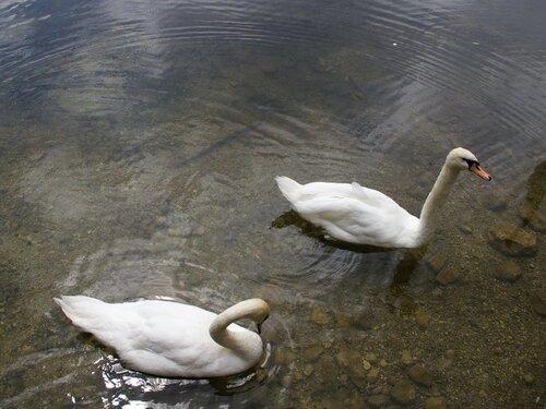 Озеро с утками рисунок