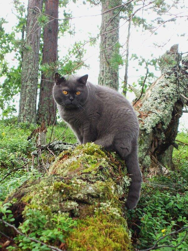 кот баюн фото Фото кота