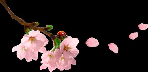 цветы вишни
