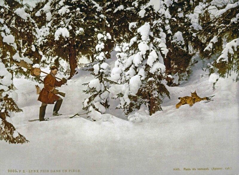 Trapping lynx, Russia.jpg