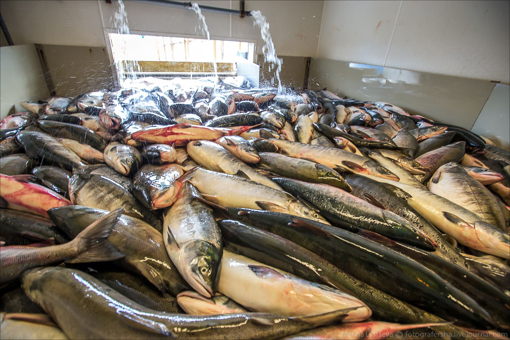 Анадырь, добыча рыбы
