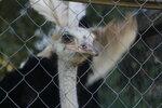 Новоалексеевка, танцующая страусиха