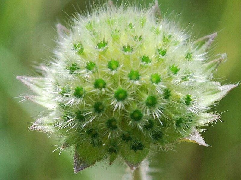 Зелёные цветы. Короставник полевой.