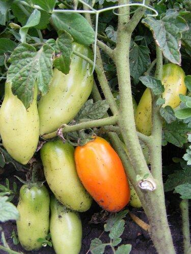 Как уберечь томаты от фитофтороза