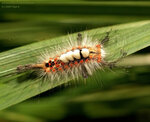 Гусеница волнянки (Lymantriidae),  кистехвоста Orgyia antiqua