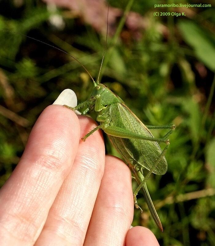 Самочка певчего кузнечика (Tettigonia cantans), Длинноусые Прямокрылые