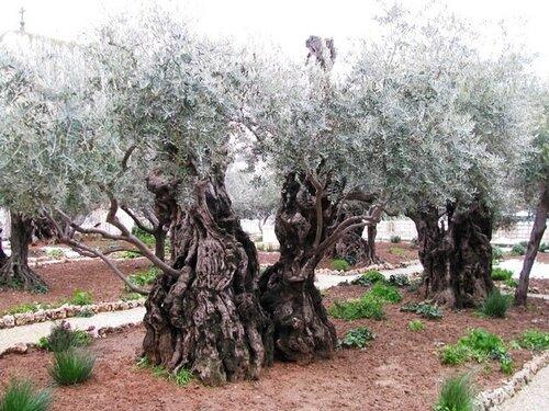 Веточка оливы с Гефсиманского сада для отца Рафаила
