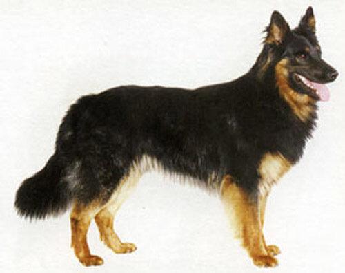 Hrvatski ovčar) - пастушья порода собак, широко распространённая в...