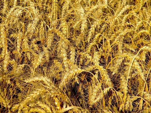 Пшеница*