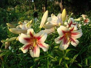 шокинг лилия фото