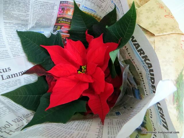 11 классическая рождественская звезда, цветы, которые потом выбрасывают.JPG