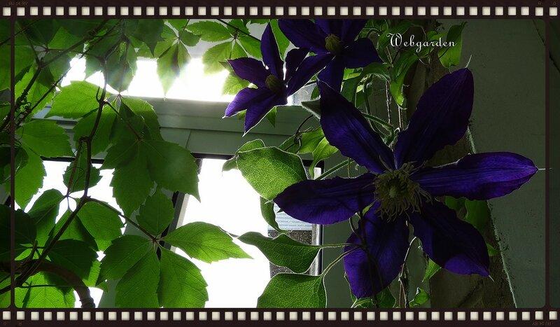 Клематис на балконе - зелёный дневник.
