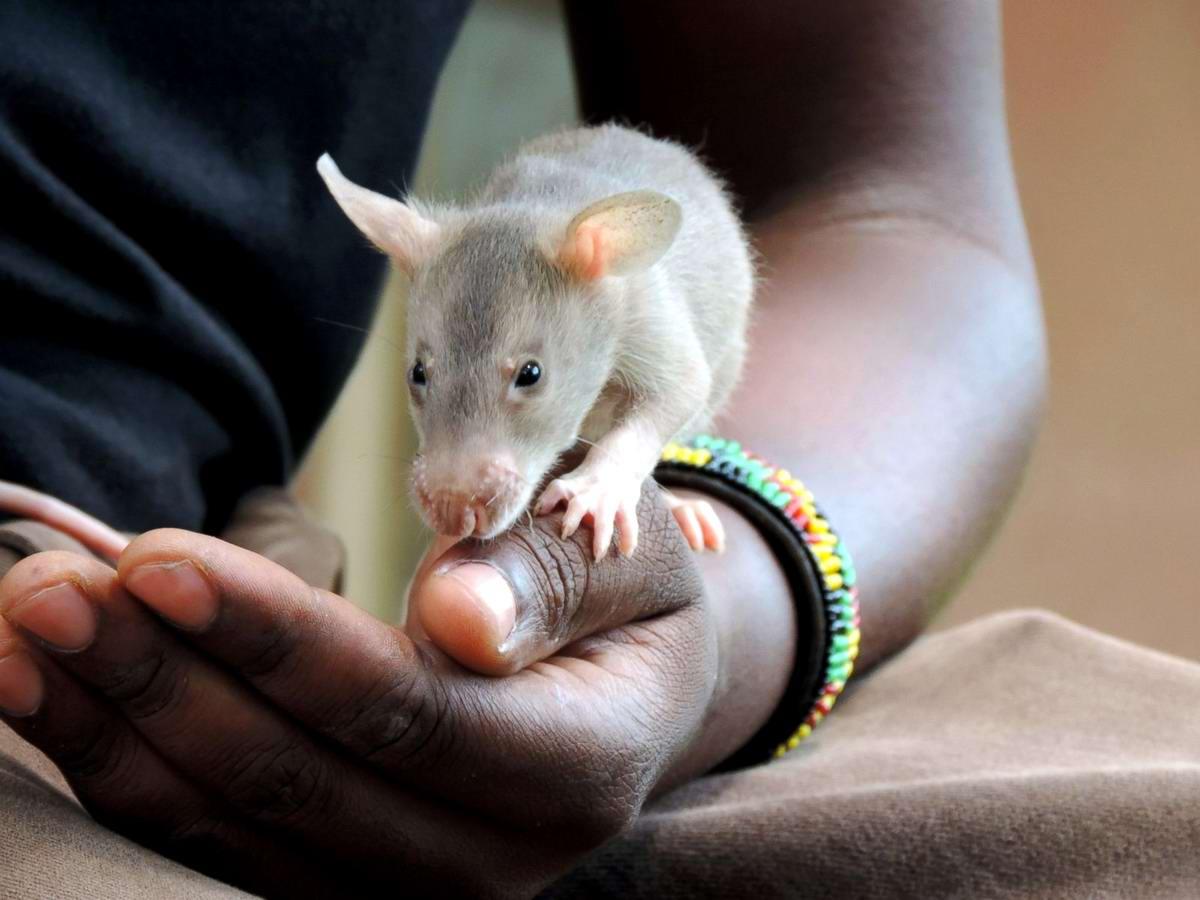 Гамбийские крысы, как лучшие саперы и вынюхиватели противопехотных мин (3)
