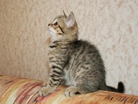 Британские котята. Девочка, окрас черный пятнистый