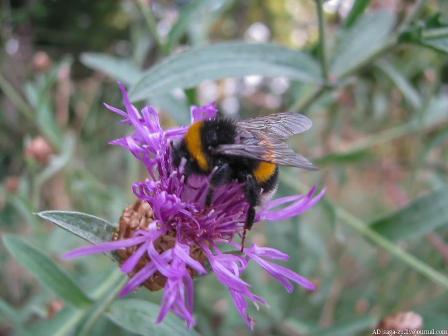 Мохнатый брат пчелы
