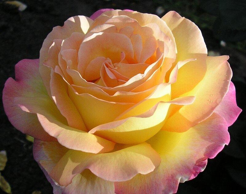 Свечение розы
