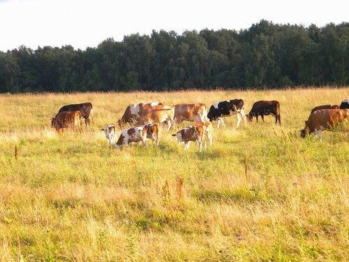 Коровушки с телятами