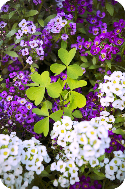 Заячья капуста в цветнике