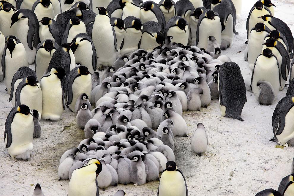 7. Императорский пингвин, несмотря на гордый вид и название, является очень осторожной и даже