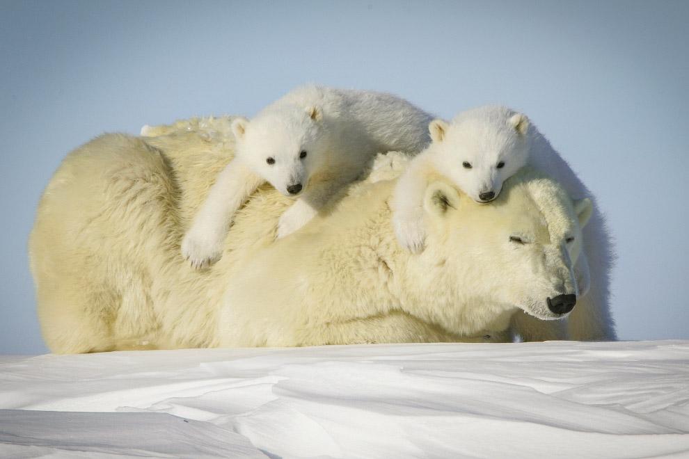 5. Белого медведя от других медведей отличают длинная шея и плоская голова. Цвет шубы варьирует от б
