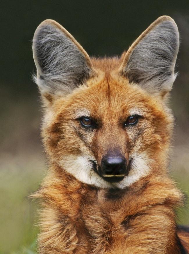 как это сделано удивительные собаки животные зоопарк зоопарки лев разное мастиф