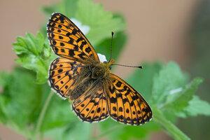 s:дневные бабочки,s:бабочки,c:коричневые,c:рыже-бурые,c:с черным рисунком,l: переднего крыла до 20 мм