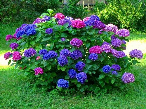 Куст разноцветной гортензии