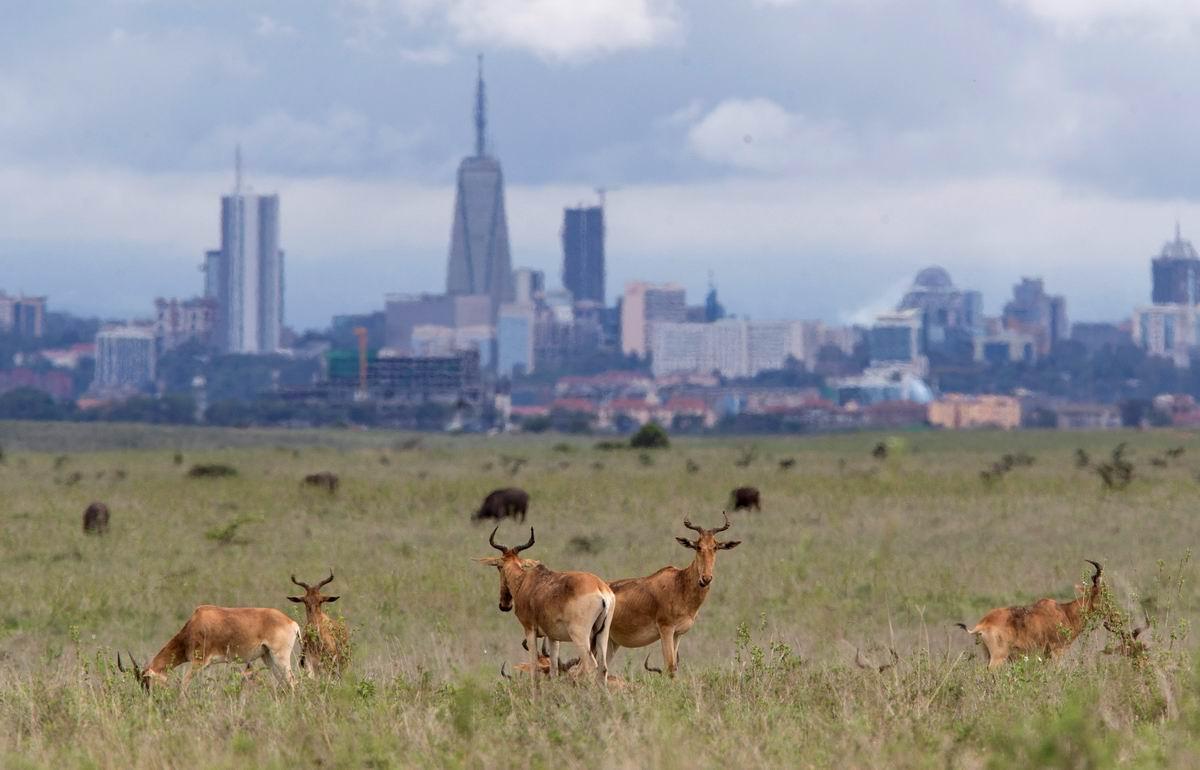 Дикие газели на фоне небоскребов: Современные кенийские пейзажи