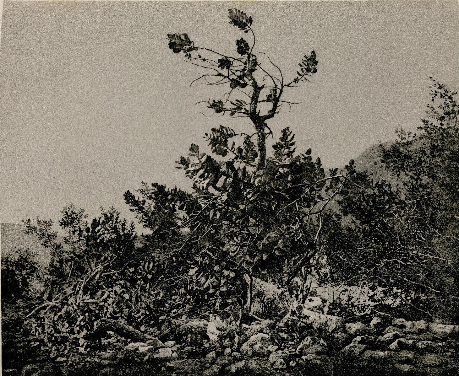 27. Мертвое море. Эйн-Геди. Содомское яблоко (лат. Calotropis procera)