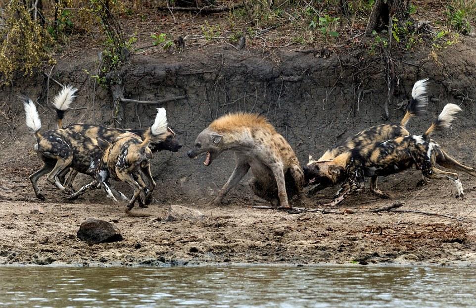 Гиене пришлось прыгать в реку, чтобы убежать от стаи диких собак