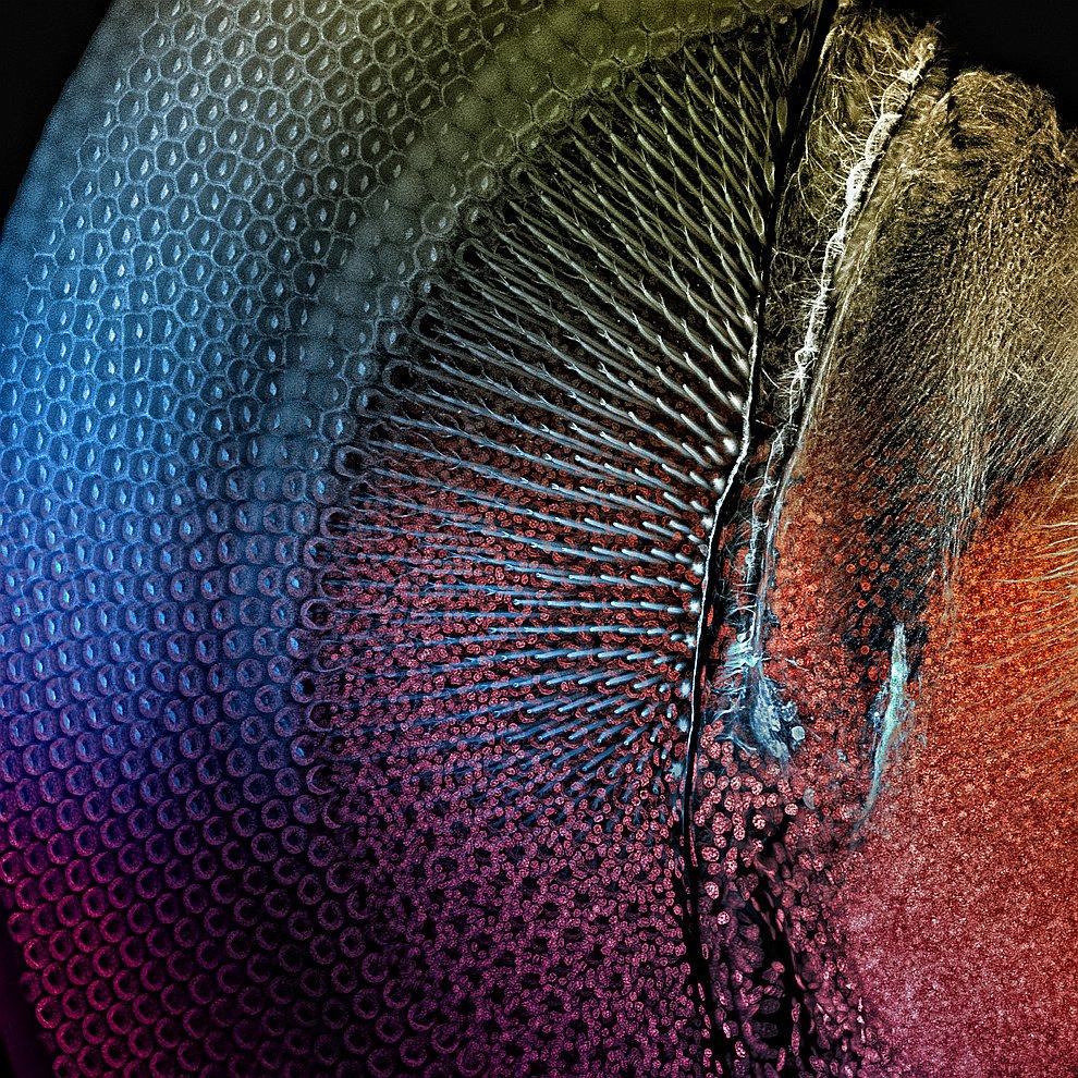 Поощрительная премия. Надкрылье  жука-скакуна полевого . (Фото Dr. Jerzy Guber
