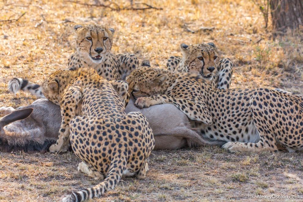 14. Вот такая невероятная банда живет сейчас в кенийском национальном парке Масаи-Мара.