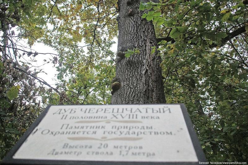Кузьминки парк. дуб черешчатый. 04.10.17.01..jpg