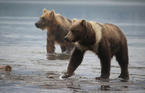 В Магаданской области установлен лимит на добычу бурых медведей, оленей, лосей...