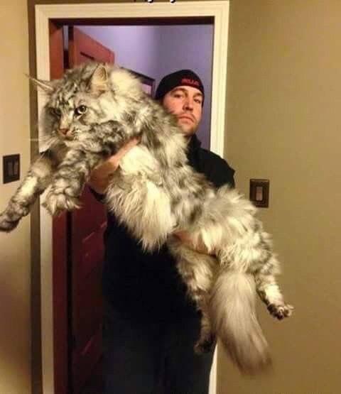 кошки-кошки-мейн-кун.jpg