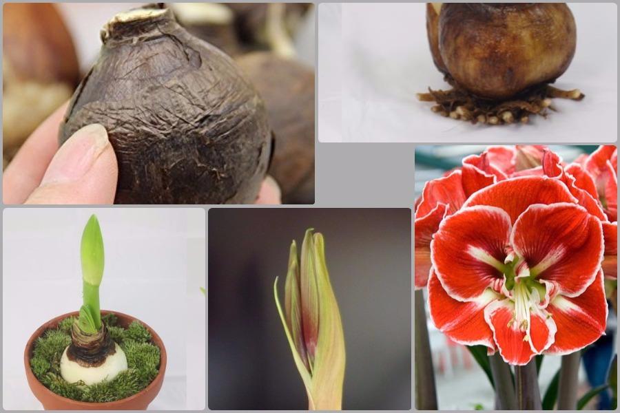 Гиппеаструм или домашняя лилия: посадка и уход
