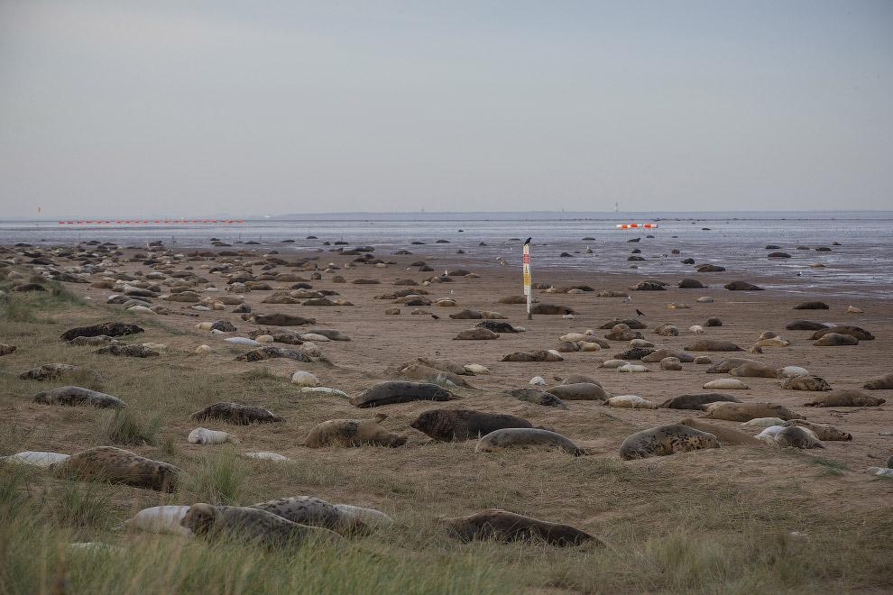 6. Международный охранный статус тевяка или серого тюленя — низкая степень угрозы, однако, у нас в Р