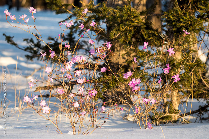 Бурятия весна март 8 марта настоящее начало ароматы аромат