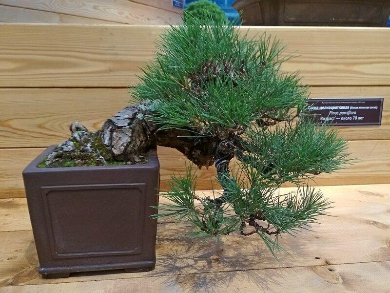 Сосна мелкоцветковая, белая японская сосна (Pinus parviflora), возраст около 70 лет - Выставка бонсай в Аптекарском огороде