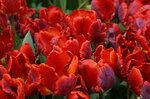 Тюльпановый костёр