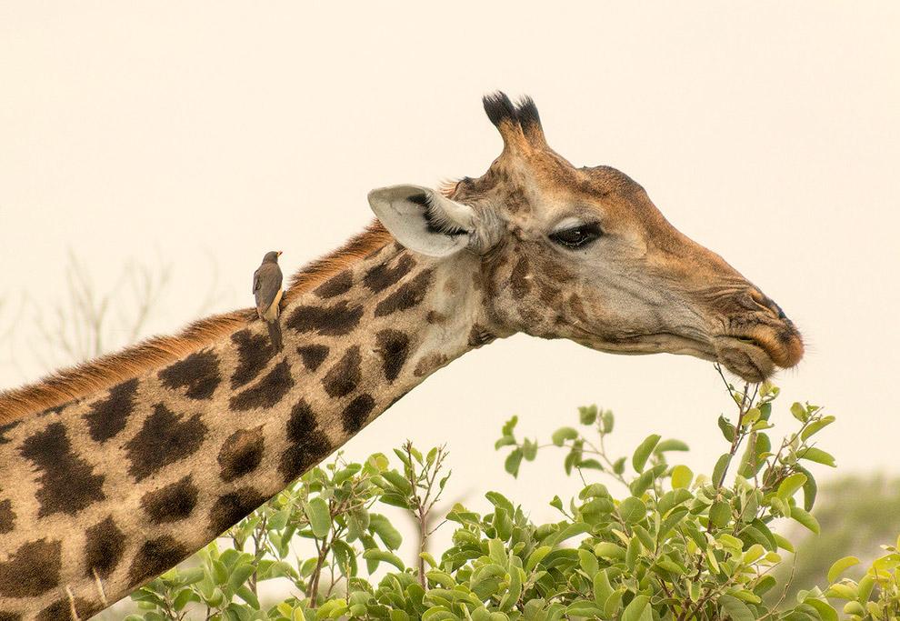 38. Скворцы особо не церемонились с жирафихой, пытаясь проникнуть во все мыслимые и немыслимые отвер