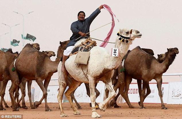 Двенадцать верблюдов дисквалифицировали с конкурса красоты из-за ботокса (4 фото)
