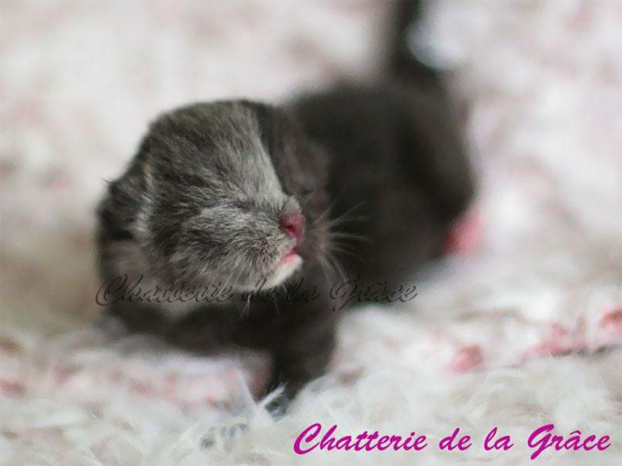 Нарния необычная кошка самая красивая кошка