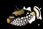 Clown triggerfish, Balistoides Conspicillum, studio shot