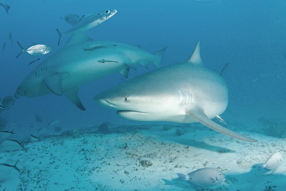 «Акул интересно снимать, крупных хищных акул без клеток, когда непосредственно рядом с хищником
