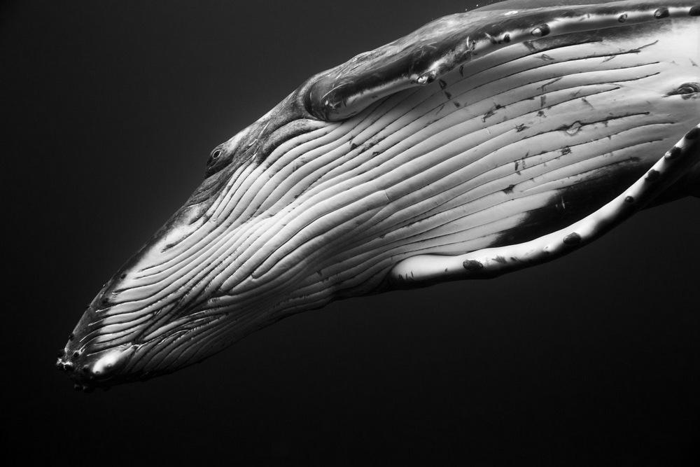 «Гиганты»: поразительные фотографии горбатых китов